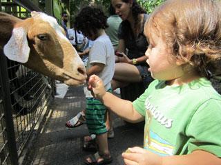 Taiyo feeds a goat
