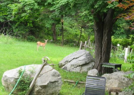 a deer in the yard